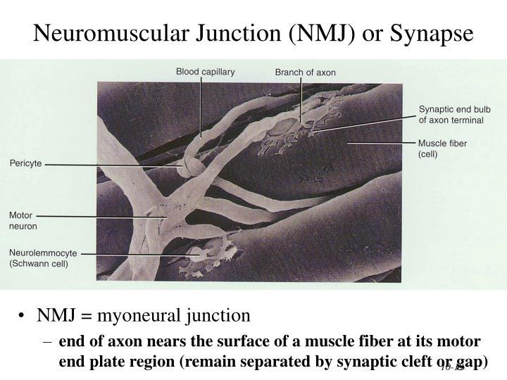 Neuromuscular Junction (NMJ) or Synapse
