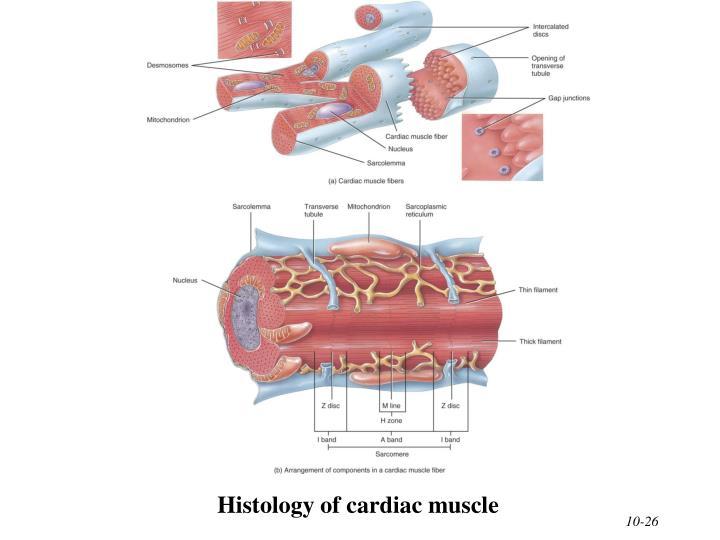 Histology of cardiac muscle