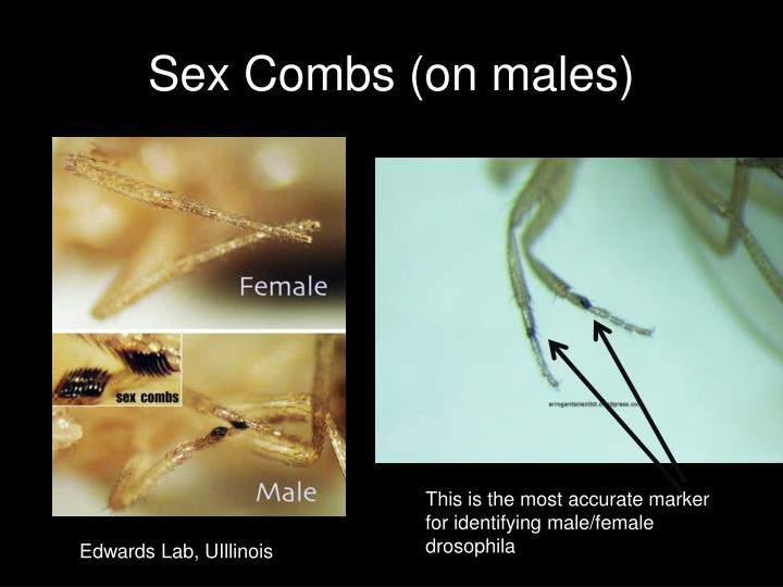 Sex Combs (on males)