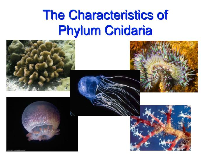 the characteristics of phylum cnidaria n.