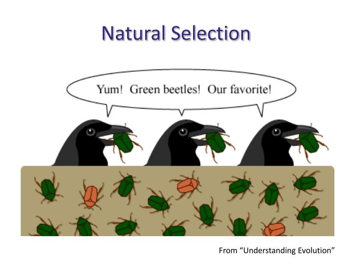 Teddy Graham Natural Selection Activity