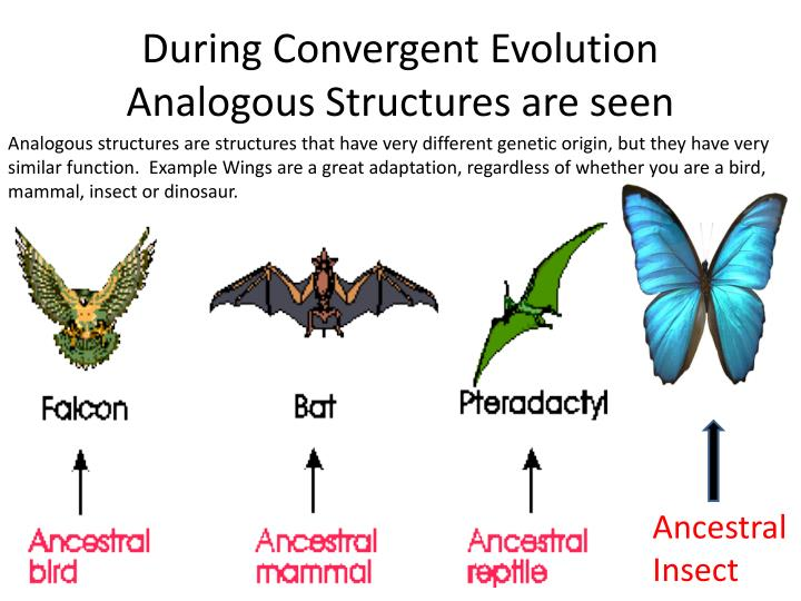 Ppt Types Of Evolution Divergent Vs Convergent Powerpoint