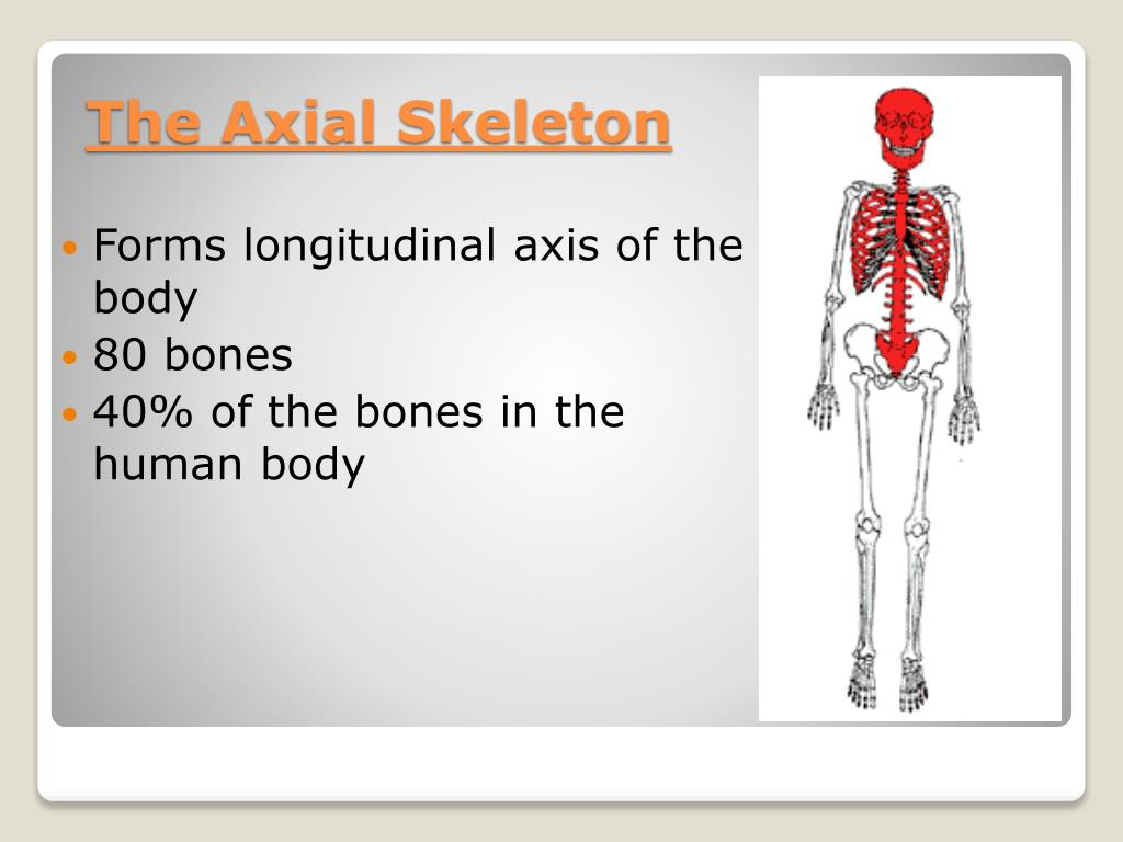 Ppt The Axial Skeleton Powerpoint Presentation Id1837462