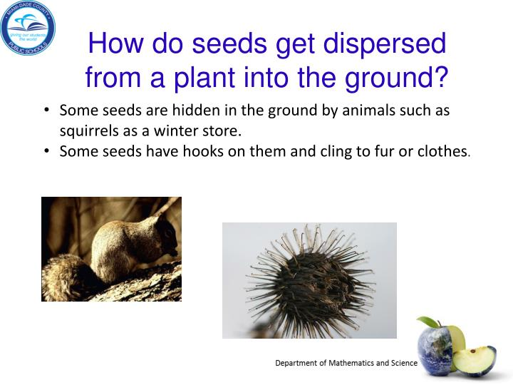 How do seeds get dispersed from a plant into the ground?