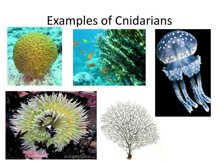 Examples of Cnidarians