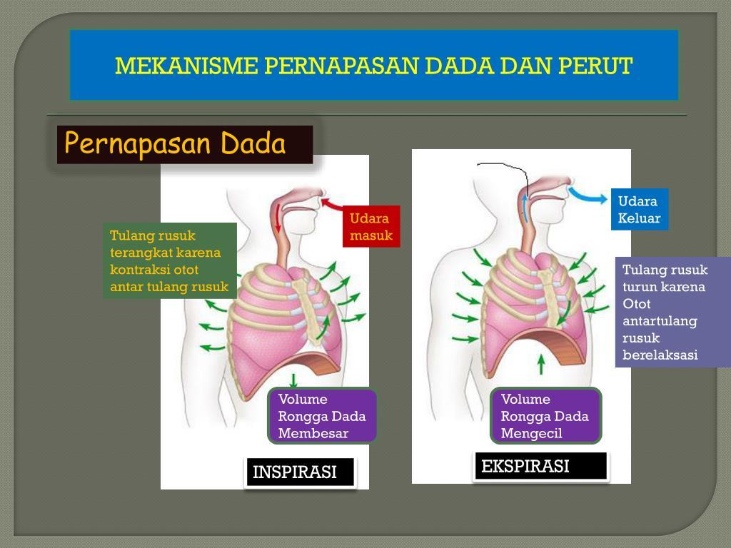 Ppt Sistem Pernapasan Pada Manusia Powerpoint Presentation Free Download Id 1846657