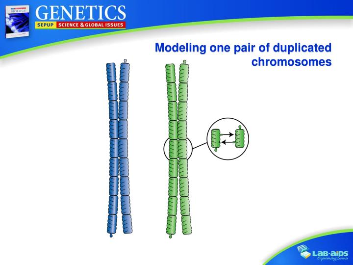 Modeling one pair of duplicated chromosomes