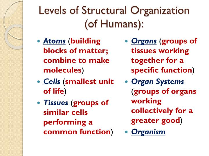 Levels of structural organization of humans