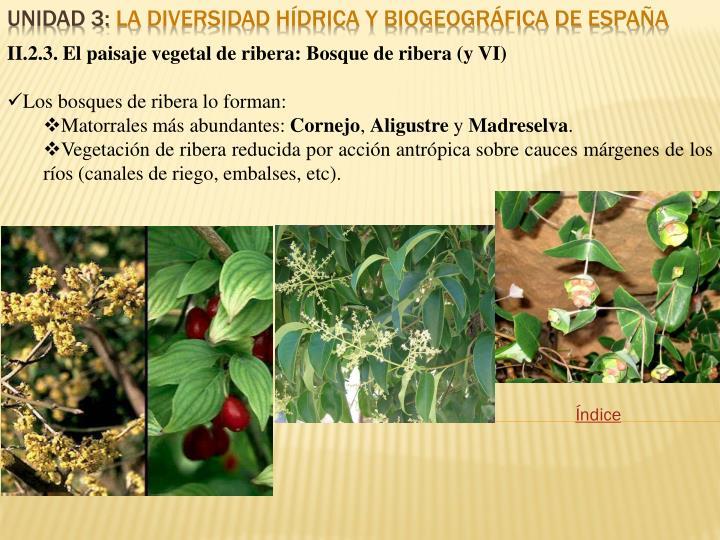 II.2.3. El paisaje vegetal de ribera: Bosque de ribera (y VI)