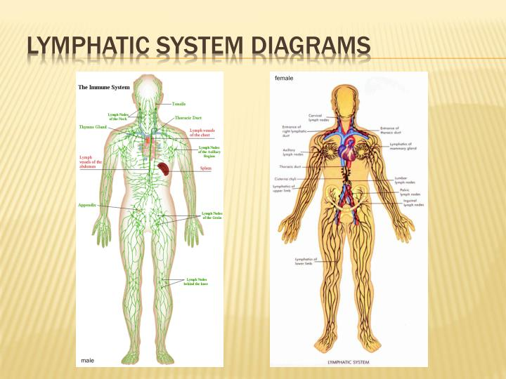 Ppt The Lymphatic System Powerpoint Presentation Id1865462