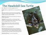 the hawksbill sea turtle