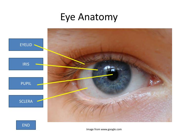 Ppt Anatomy Of The Eye Powerpoint Presentation Id1866944