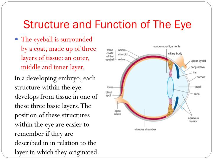 """structure and function of the human eye Human sensory reception: human sensory reception, means by which humans react to changes in external and internal environments ancient philosophers called the human senses """"the windows of the soul,"""" and aristotle described at least five senses—sight, hearing, smell, taste, and touch."""