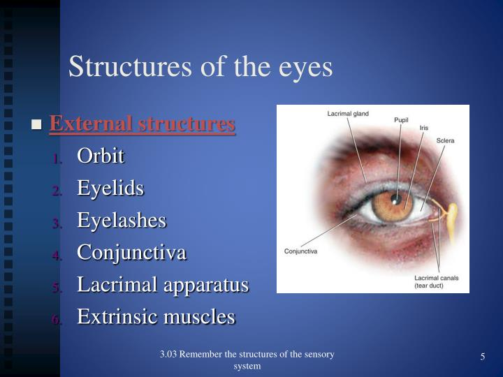Structures of the eyes