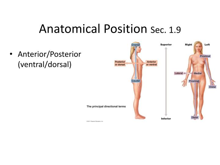 PPT - Anatomical Position Sec. 1.9 PowerPoint Presentation - ID:1867213