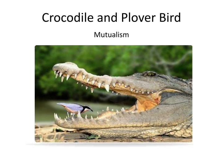 Crocodile and Plover Bird