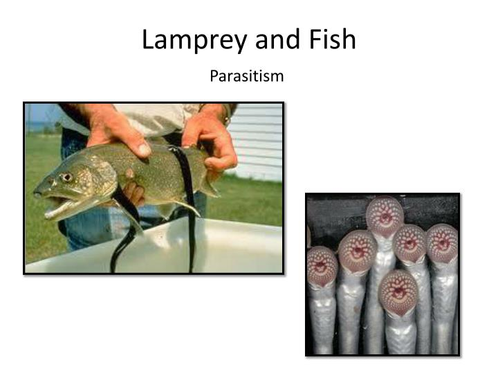 Lamprey and Fish
