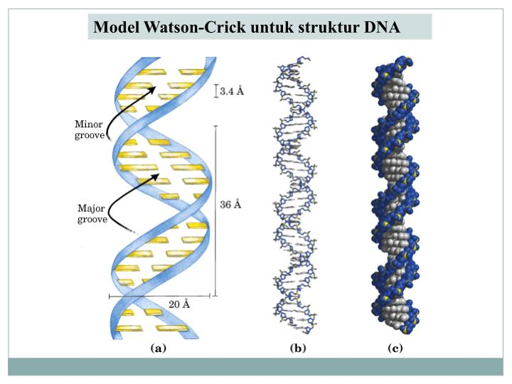 the essential features of the watson crick model on the dna Summary of watson and crick model 1) the dna molecule is composed of two chains of nucleotides 5) the bases are stacked one on top of the other hydrophobic interactions and vander walls forces between the stacked bases provide stability for the entire dna molecule.