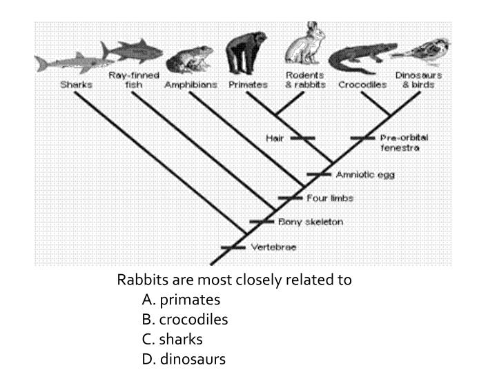 Rabbits are most closely related to