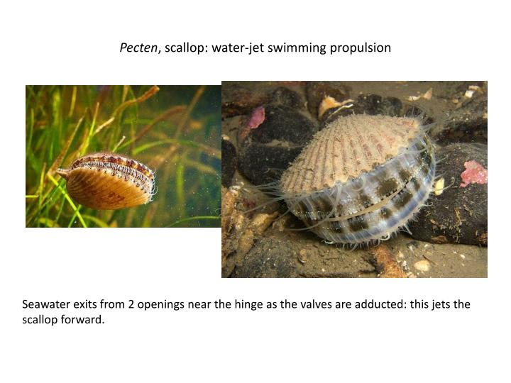 Pecten scallop water jet swimming propulsion