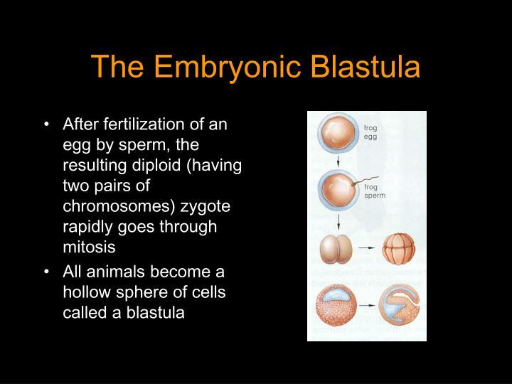 The Embryonic Blastula