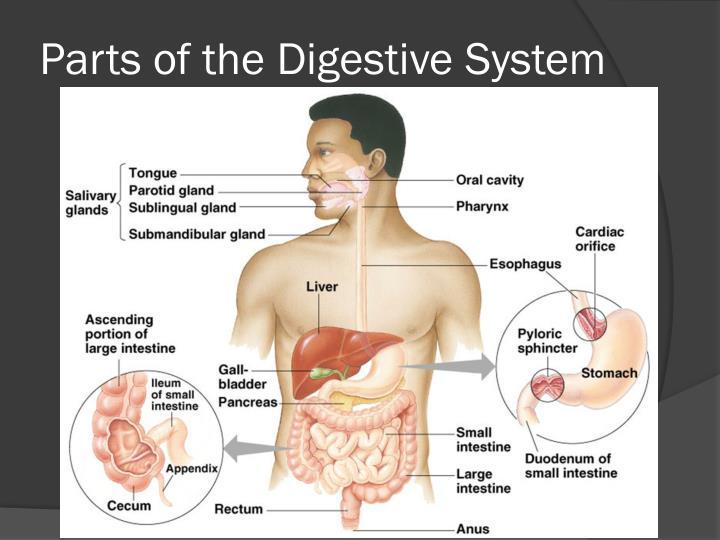 Ppt Digestive System Powerpoint Presentation Id1876871
