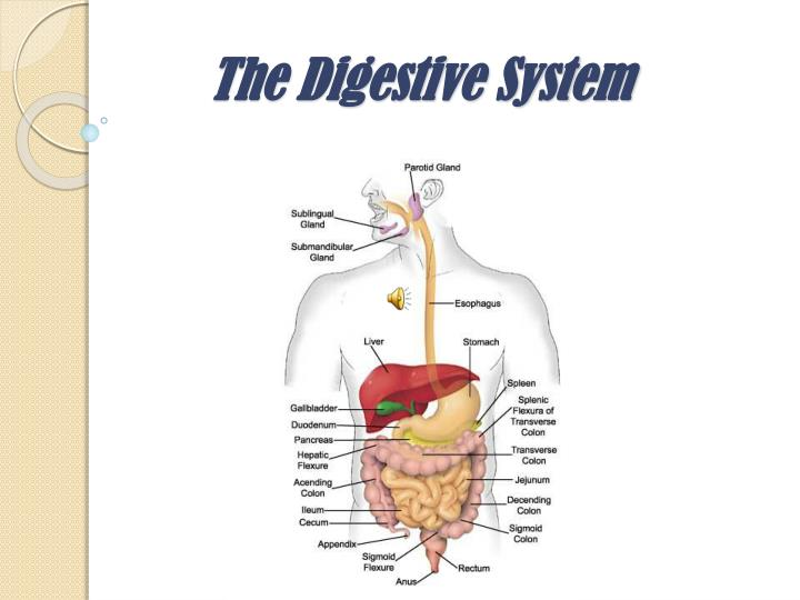 parts of the digestive system From the author find the parts of the human digestive system over the teeth and past the gums, look out stomach, here it comes this wonderful image by mariana ruiz villarreal (ladyofhats) in the wikimedia commons.
