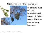 mistletoe a plant parasite