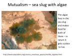 mutualism sea slug with algae