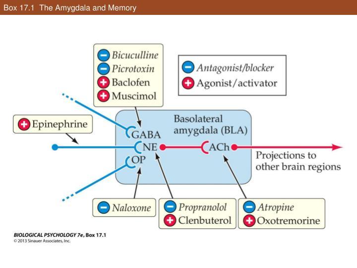 Box 17.1  The Amygdala and Memory