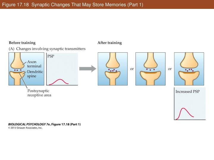 Figure 17.18  Synaptic Changes That May Store Memories (Part 1)