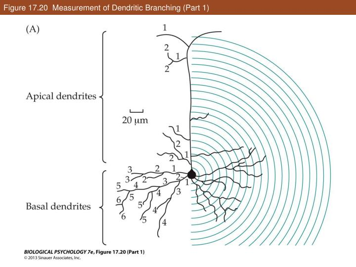 Figure 17.20  Measurement of Dendritic Branching (Part 1)