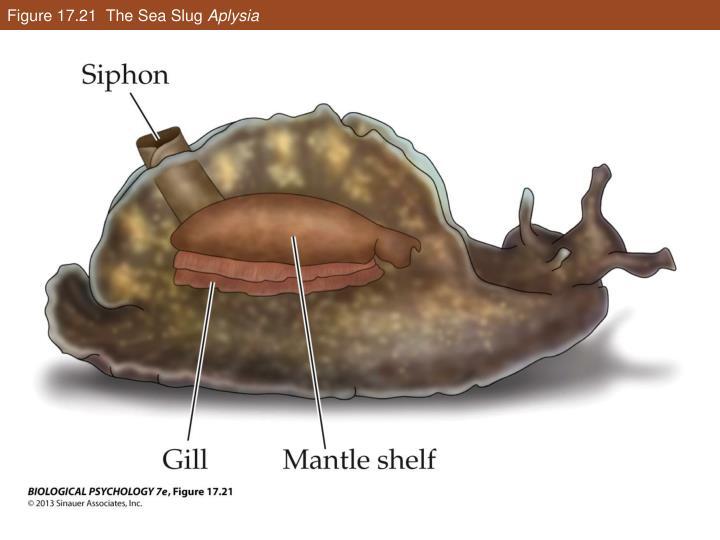 Figure 17.21  The Sea Slug