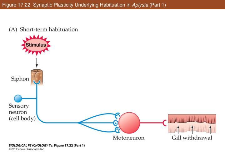 Figure 17.22  Synaptic Plasticity Underlying Habituation in