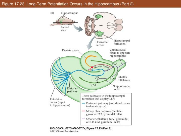 Figure 17.23  Long-Term Potentiation Occurs in the Hippocampus (Part 2)