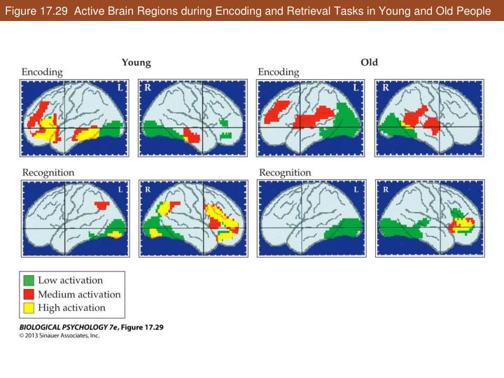 Figure 17.29  Active Brain Regions during Encoding and Retrieval Tasks in Young and Old People