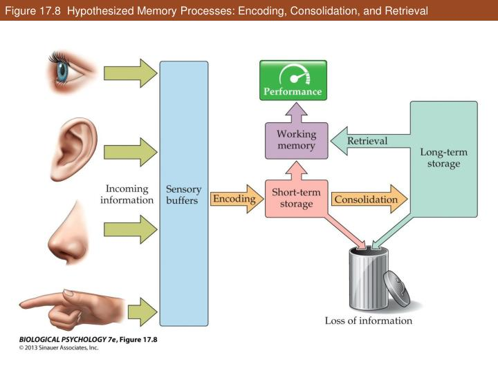 Figure 17.8  Hypothesized Memory Processes: Encoding, Consolidation, and Retrieval