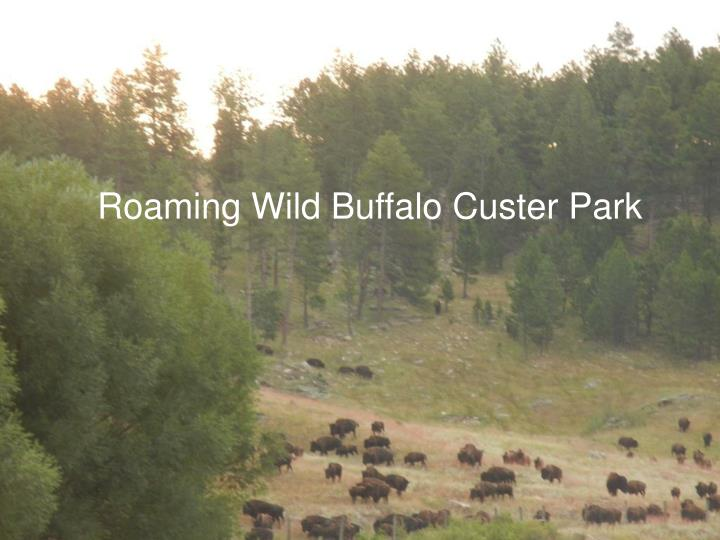 Roaming Wild Buffalo Custer Park