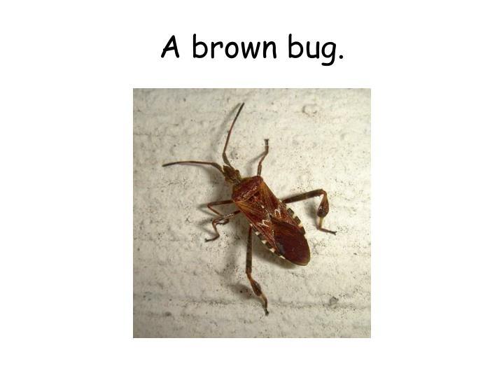 A brown bug.