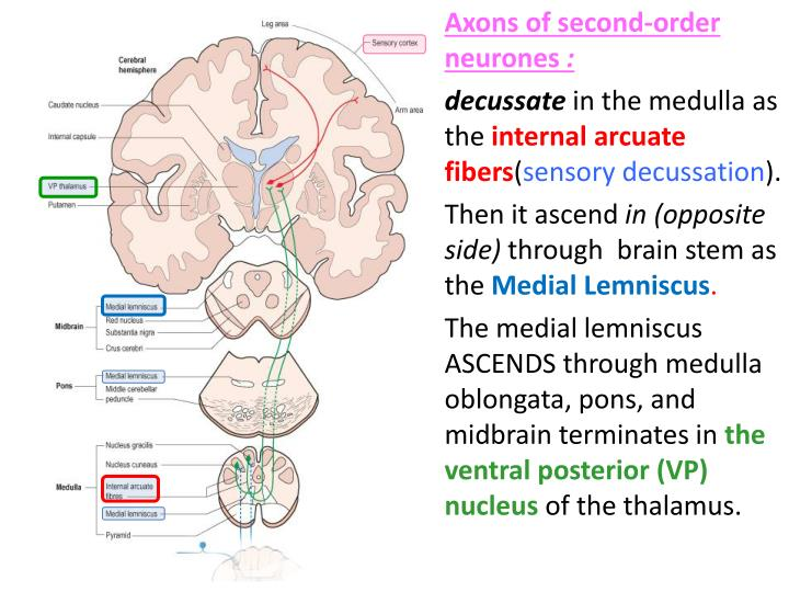 Axons of second-order