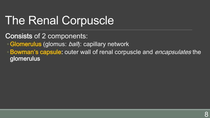 The Renal Corpuscle