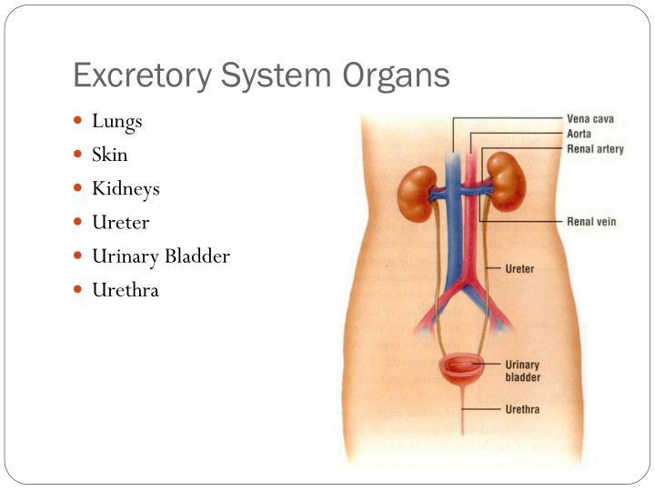 Excretory System Organs