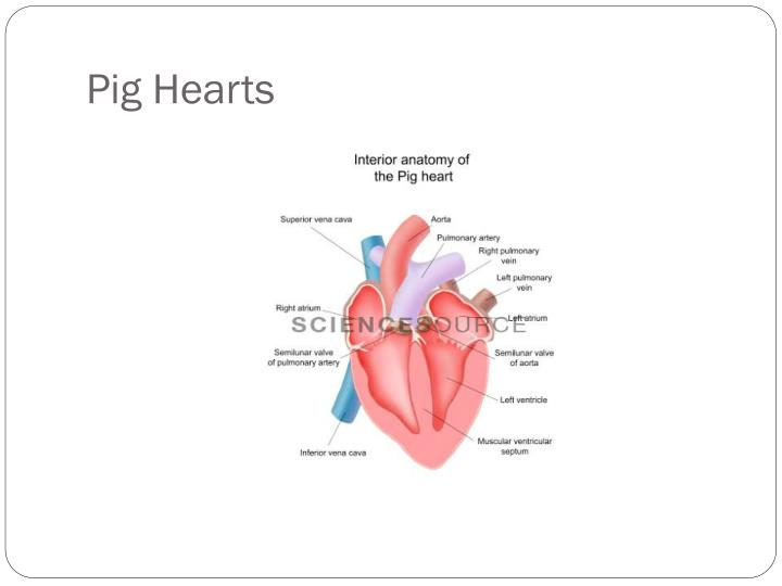 Pig Hearts