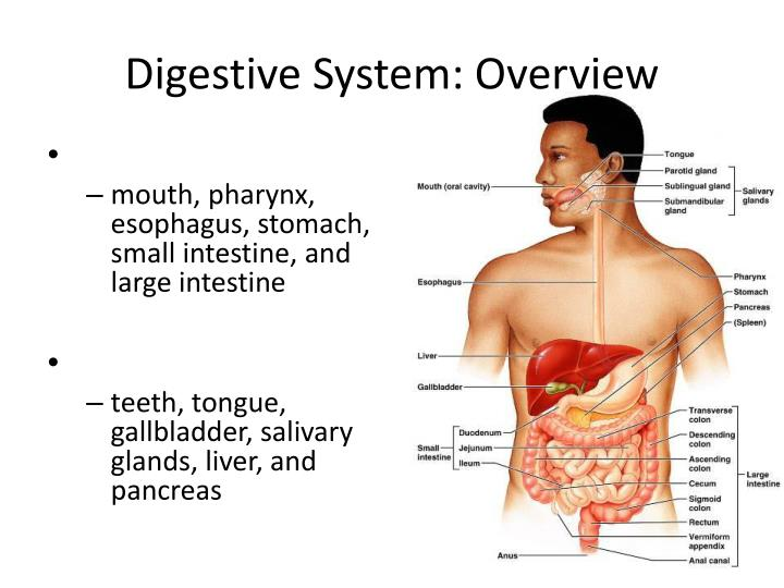 digestive system overview n.