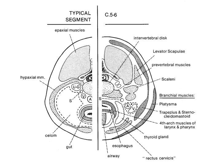 Biology 323 human anatomy for biology majors lecture 18 dr stuart s sumida