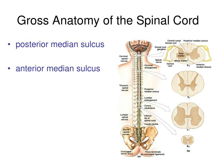 PPT - The Spinal Cord, Nerves and Reflexes PowerPoint Presentation ...
