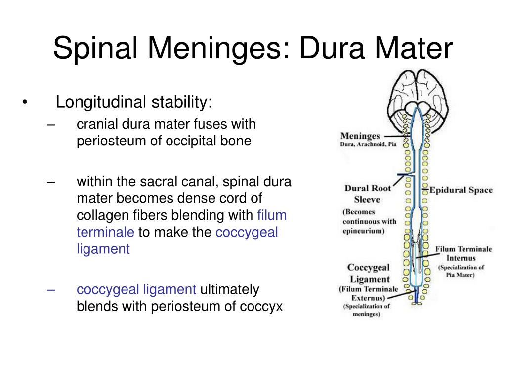 Ppt The Spinal Cord Nerves And Reflexes Powerpoint Presentation Free Download Id 1893175 Filum terminale internum information including symptoms, causes, diseases, symptoms, treatments, and these medical condition or symptom topics may be relevant to medical information for filum. the spinal cord nerves and reflexes