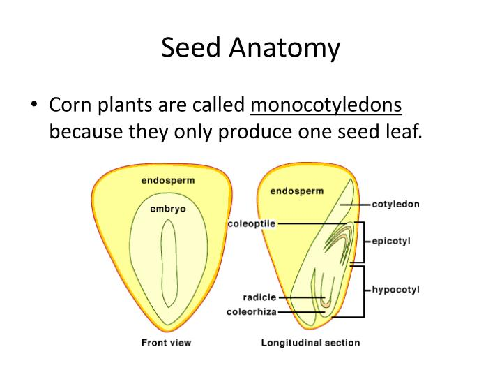 Magnificent Corn Seed Anatomy Sketch - Anatomy And Physiology ...