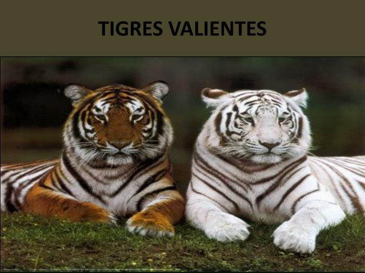 TIGRES VALIENTES