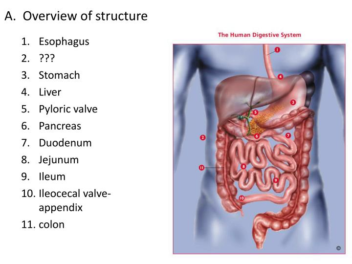 Ppt Digestive System Powerpoint Presentation Id1895123